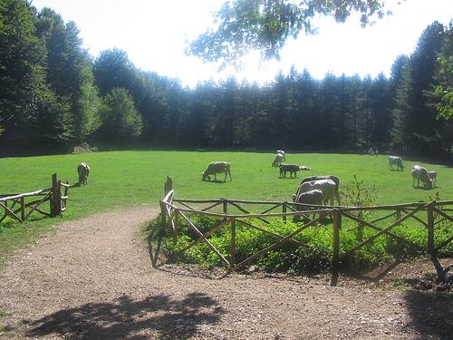 vacche-podoliche-forestaumbra